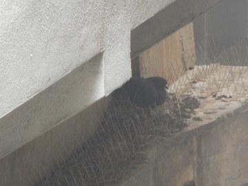 剣山の上に巣を作る鳩 .JPG